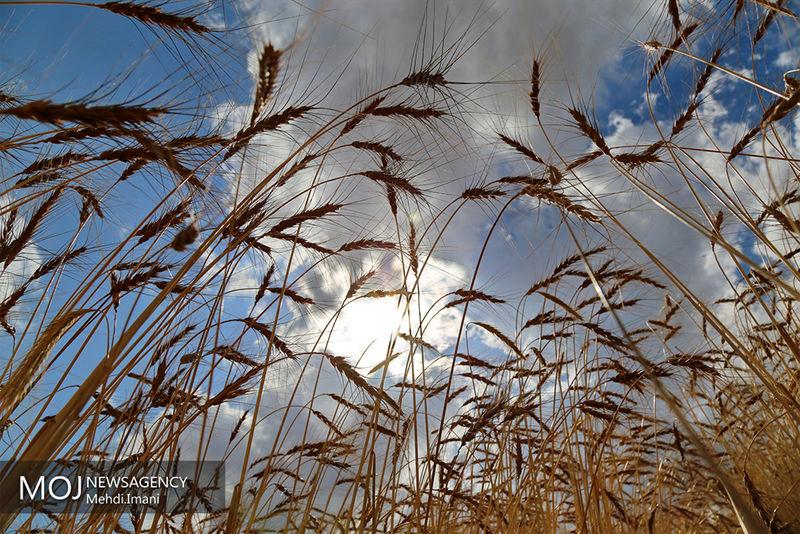 307 تن بذر گندم اصلاح شده در میاندورود توزیع شد