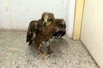 یک بهله عقاب صحرایی مجروح تحویل اداره حفاظت محیط زیست آستانه شد