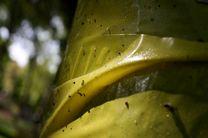 طغیان مگس سفید در پایتخت به سازمان حفظ نباتات مربوط نیست / پاسکاری شروع شد
