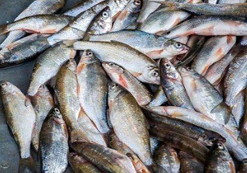 بیش از 1 تن ماهی قاچاق به مقصد نرسید