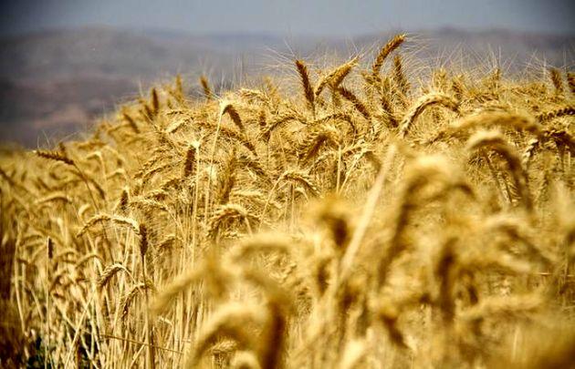 ۱۰۱ هزار تن گندم خوراکی ایرانی در بورس کالا عرضه می شود