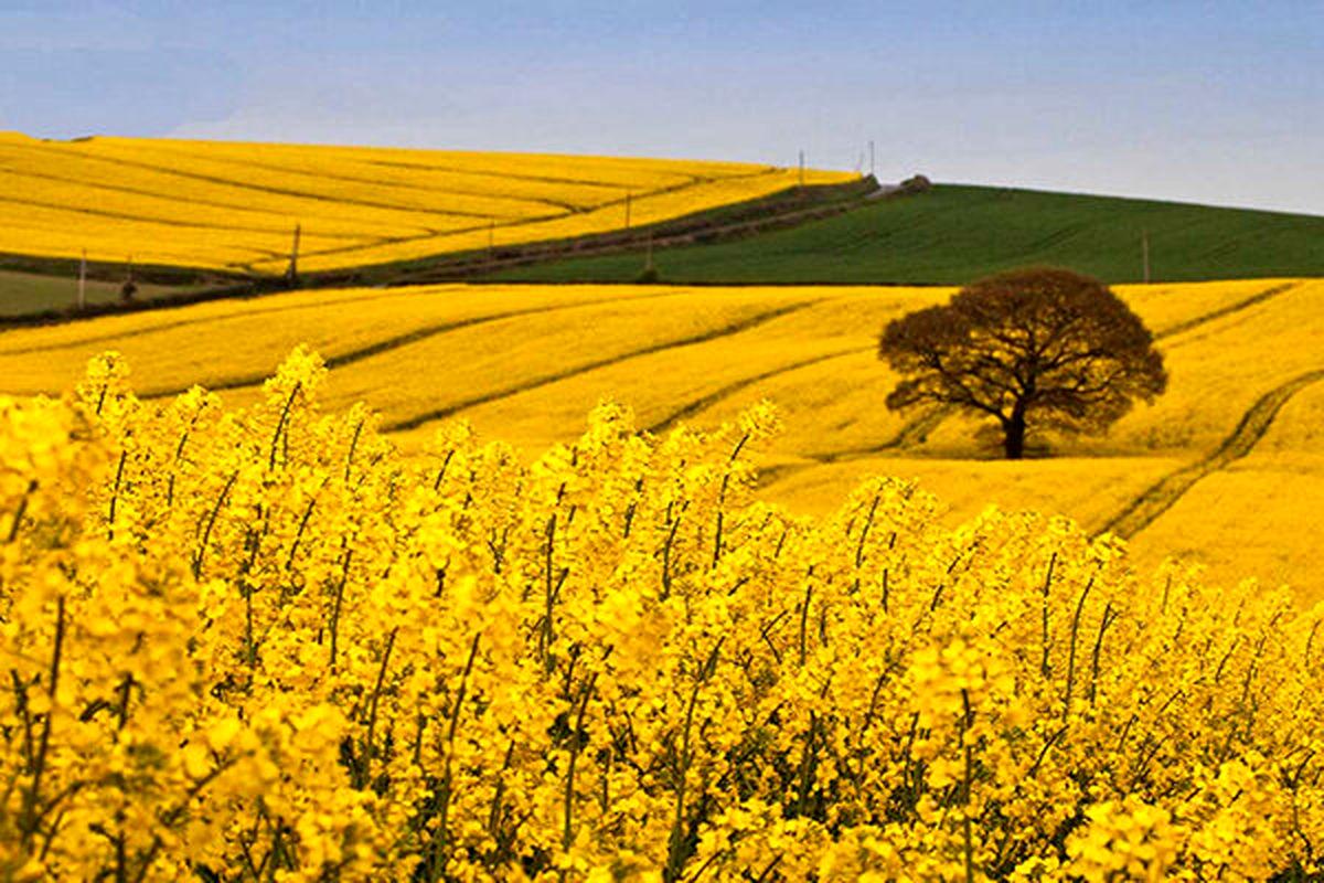بیش از 14 هزار تن کلزا از اراضی کشاورزی دهلران برداشت شد