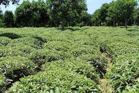 تولید بیش از 3000 تن چای خشک بهاره