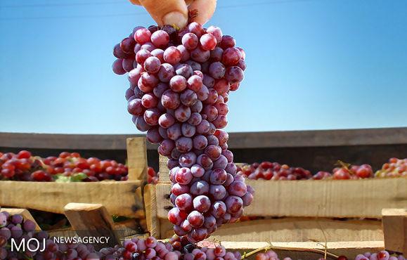 انگور یاقوتی ۶ هزار تومان / قیمت انواع میوه اعلام شد
