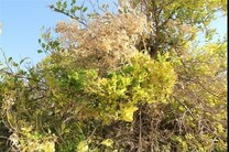 جاروک ۸۰ درصد باغات لیموترش در جنوب کشور را از بین برد