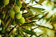 پیش بینی برداشت ۲۱ هزار تُن دانه روغنی زیتون در سال جاری/فعالیت ۱۰ کارخانه روغن کشی در شهرستان رودبار