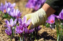 افزایش 70 درصدی برداشت زعفران از مزارع فریدن