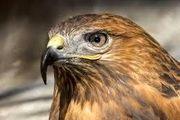 رها سازی یک پرنده شکاری سارگپه در پارک ملی قمیشلو