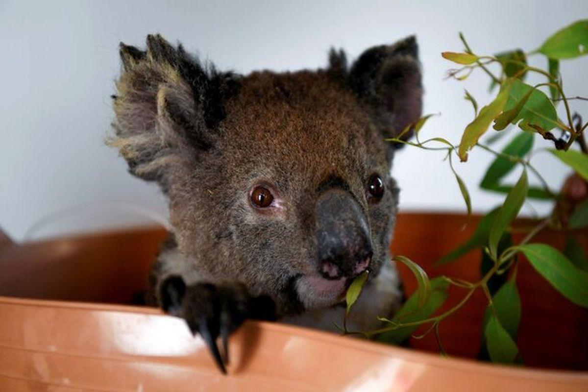 جمعیت رو به کاهش کوالاها در استرالیا