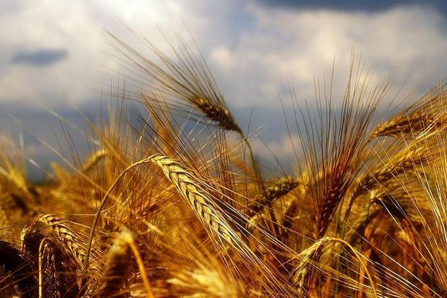 ۱۵۳ هزار تن گندم در تالار کشاورزی می شود