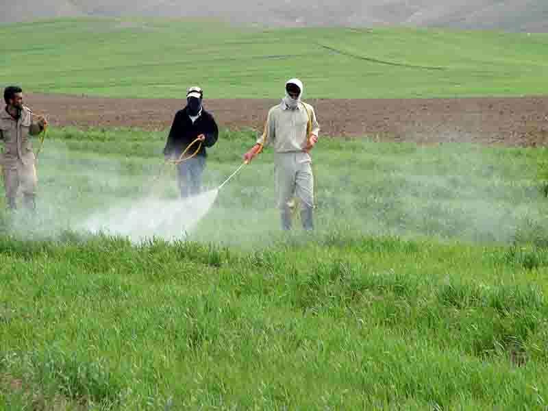 مبارزه با آفت سن غلات در  بیش از 30 هزار هکتار از مزارع بهار