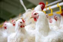 مرغداران از نگهداری مرغ با وزن بالا در سالنها پرهیز کنند