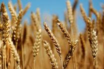 کشت گندم بذری در هرمزگان آغاز شد