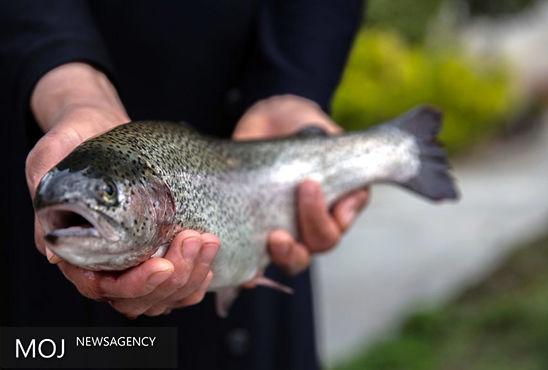ماهی قزلآلا هورمونی نیست / صدور شناسنامه برای ماهی ها