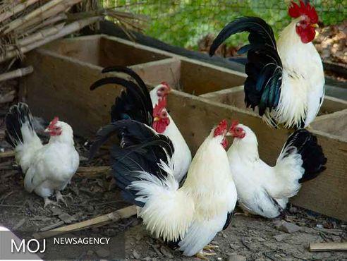 مرغ و خروس، پشه مالاریا را فراری میدهند