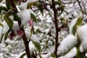 ۳۹ هزار هکتار از سطح باغات استان اردبیل دچار سرمازدگی شدهاند