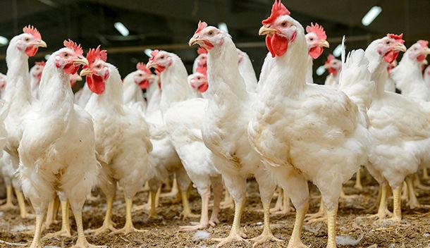 رشد 21 درصدی گوشت مرغ در خوزستان