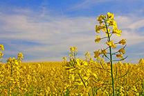 پیش بینی برداشت بیش از ۳ هزار تن دانه روغنی کلزا در هرمزگان
