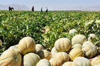 برداشت بیش از 10 هزار تن محصولات صیفی  در شهرستان بادرود