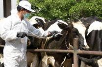 آغاز طرح واکسیناسیون 3800 راس دام سنگین علیه تب برفکی در چادگان