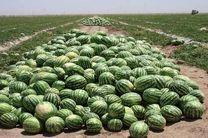 پایان برداشت هندوانه از باغات استان گیلان/فعالیت سه هزار باغدار گیلانی در زمینه کشت هندوانه