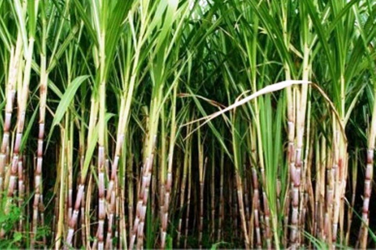 رشد ۷۰ درصدی تولید نیشکر در کشور در سال جاری