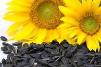 پیش بینی برداشت بیش از 2تن آفتابگردان آجیلی در هر  هکتار از مزارع اردستان
