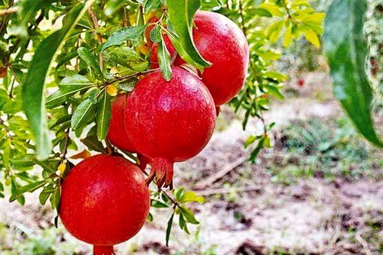 پیش بینی برداشت ۱۰هزار تن انار از باغات شهرستان نطنز