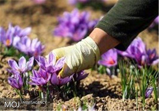 سرقت سوئیسی گونههای زعفران ایران