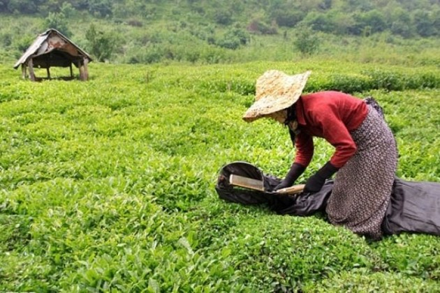 پرداخت اولین بهای برگ سبز چای
