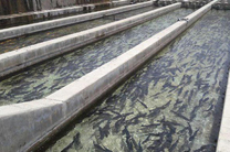 ۳۲۰ تن ماهی قزل آلا در ۱۳ مزرعه فعال شهرستان علی آباد کتول تولید میشود
