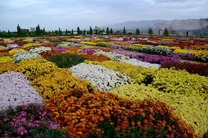 جشنواره «گلهای داوودی» در خرمآباد برگزار میشود
