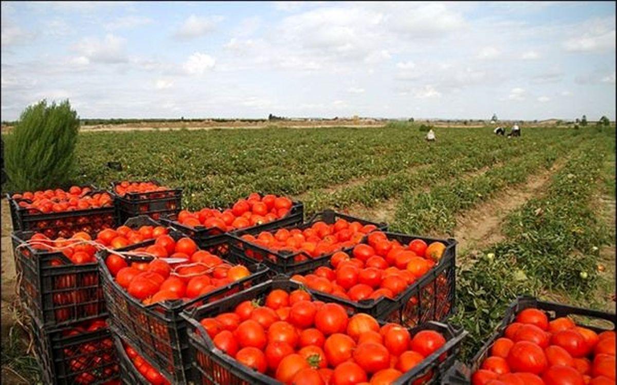 حمل و نقل گران و مافیای بازار عامل گرانی گوجه فرنگی