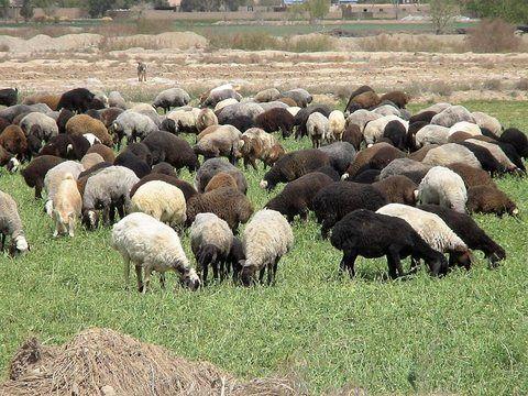 رویکرد جهاد کشاورزی اقتصادی کردن دامپروری روستا است