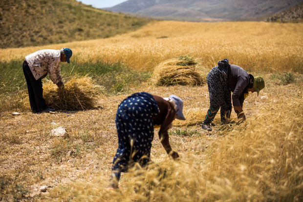 پرداخت 83 درصد مطالبات گندم کاران استان اصفهان