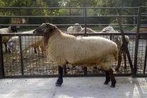 اجرای طرح سنتز نژادی نو ترکیب گوسفند