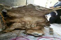 کشف پوست شیر سلاخی شده در یک منزل مسکونی در مشهد