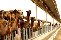 تجارت پرسود پرورش شتر در گناباد در شرایط خشکسالی