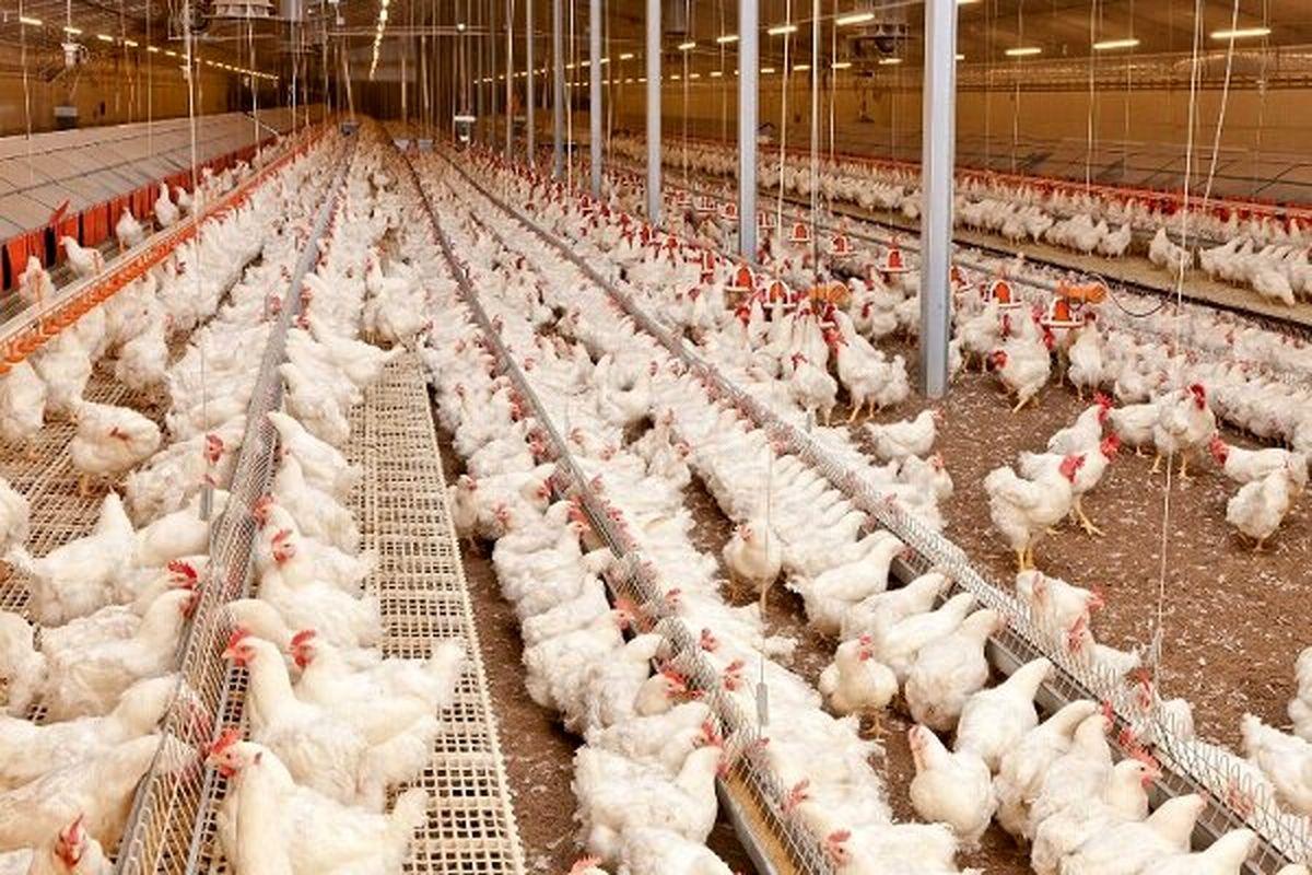 افتتاح نخستین واحد تولید مرغ گوشتی در خمینی شهر / تولید 14 هزار قطعه مرغ گوشتی