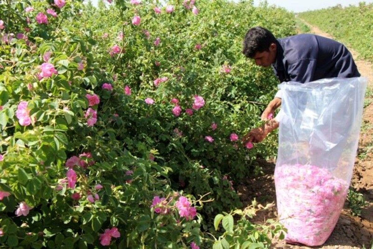 برداشت بیش از  ۵۴۰ تن گل محمدی، از مزارع شهرستان مشهد