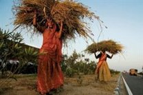 تنزل تولید جهانی غلات / کاهش ۲۰ میلیون تنی گندم جهان