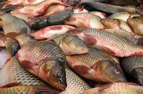 تولید تیلاپیا به صورت رسمی در کشور نداریم / 800 هزار تن پرورش ماهی تیلاپیا تا برنامه ششم توسعه