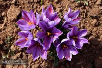 ایران با ۸۸ درصد، رتبه نخست تولید زعفران در جهان را در اختیار دارد