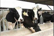 طرح بهبود مدیریت گاوداری شیری در سطح استان همدان اجرا میشود