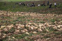 ۳۰۰۰ هکتار چغندرقند در گلستان کشت میشود