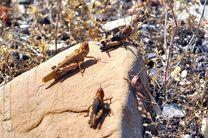 آخرین خبر از حمله ملخهای صحرایی به تالاب جازموریان