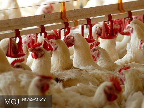 مرغ سبز قیمت مشخصی ندارد / دام عشایر ارگانیک نیست