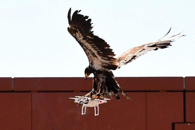 عقابهای شکارچی پهپاد بازنشسته میشوند