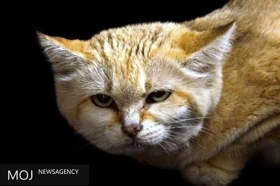 گونه نادری از گربه پس از ۱۰ سال شناسایی شد