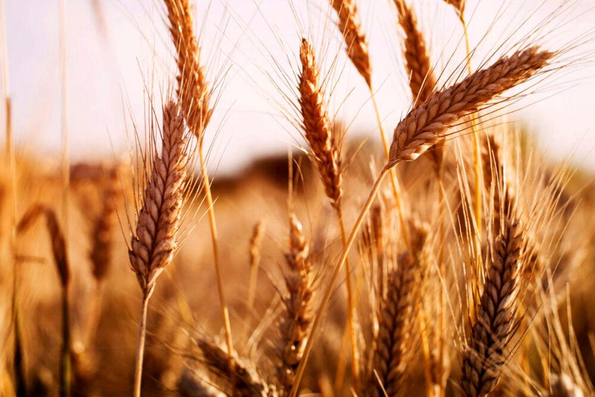 کاهش 300 هزار تنی تولید گندم چالش جدید کمبود بارندگی در کردستان